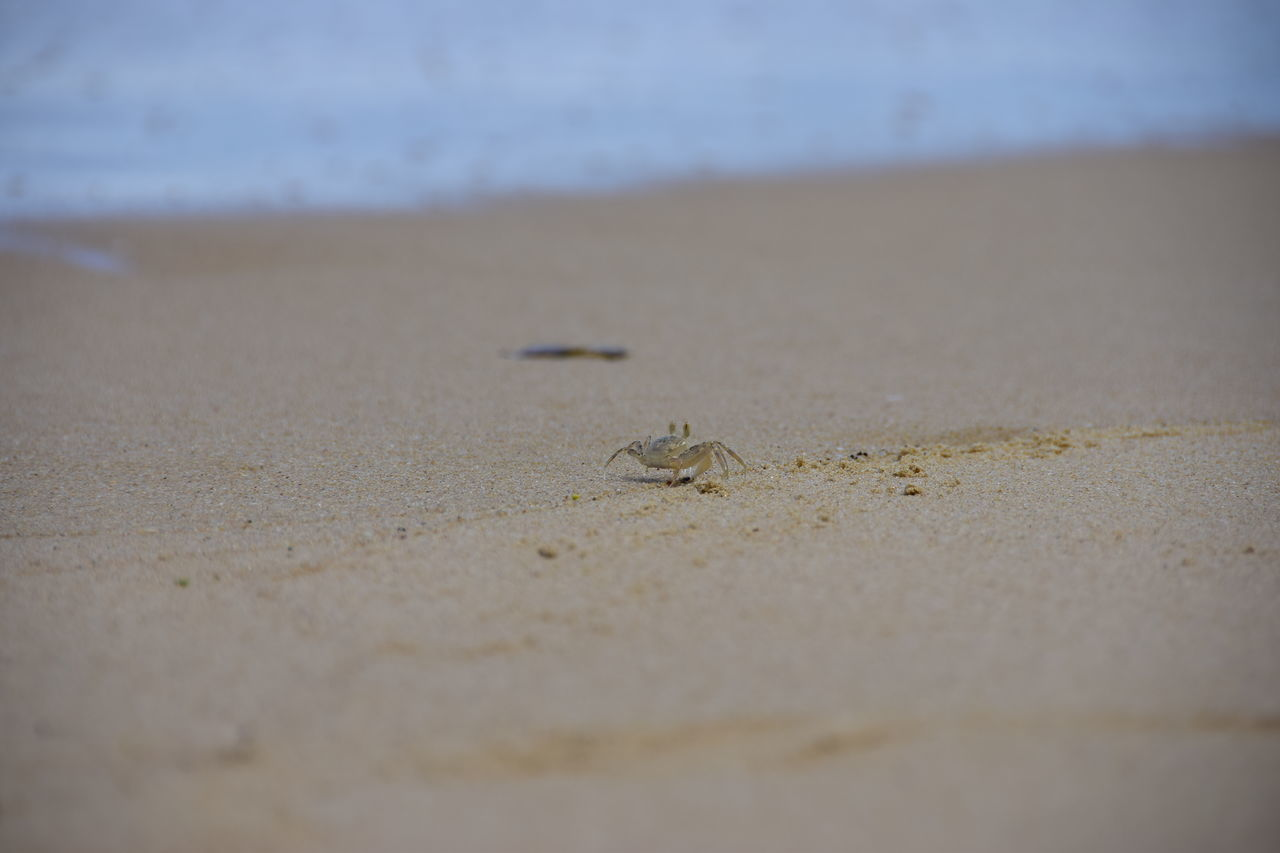beach, sand, selective focus, animal themes, animals in the wild, day, one animal, no people, nature, animal wildlife, outdoors, close-up, beauty in nature