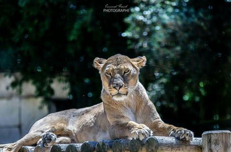 Zoo Animals  Animals Lions Fauve