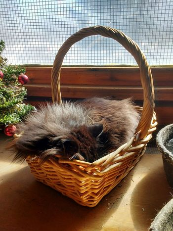 Basket Kitty Cat Cat In A Basket  Sleeping Cat Popular Photos Getting Inspired Enjoying Life Toronto Islands Farm Zoo Toronto Ontario Canada Coast To Coast Eye4photography  EyeEm Best Shots Animal Themes Purring Feline Cats Of EyeEm EyeEm Gallery Sleeping In The Sun  Nature Always Be Cozy Animals Cats 🐱
