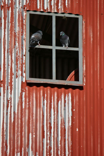 Red Chapa Pigeon Pigeons Rusty Rusty Metal Window