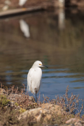High angle view of great egret at lakeshore