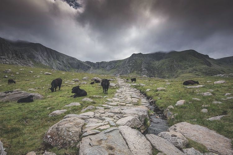 Wild Cattle Lost In The Landscape Livestock Domestic Animals Animal Themes Mountain Mammal Grazing Beauty In Nature Scenics Outdoors Grass Snowdonia Wales Great Britain Great Outdoors Cattle Cows Wild Cows Mountain Range Mountains Perspectives On Nature Shades Of Winter