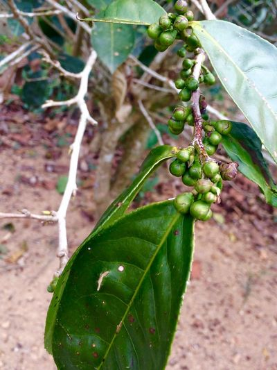 Beauty In Nature Cinnamon Cinnamon Tree Close-up Focus On Foreground Green Green Color Growth Leaf Nature No People Plant Sri Lanka SriLanka Plant Growth Plant Part Green Color Nature Food And Drink Beauty In Nature Agriculture Outdoors