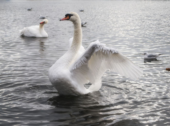 Spreading wings Bird Swimming Swan Lake Nature Water Animals In The Wild Animal Themes Water Bird Waterfront Beauty In Nature Floating On Water Nature On Your Doorstep Portsmouth Hampshire  Southsea