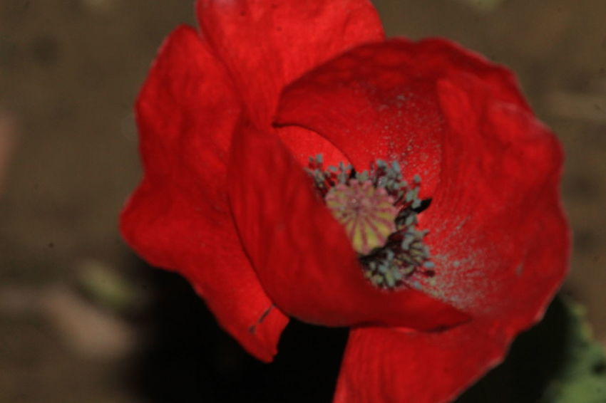 flower in the night Flower Head Flower Peony  Poppy Red Petal Beauty Hibiscus Close-up Plant Wild Rose Pistil In Bloom Blossom Plant Life Focus