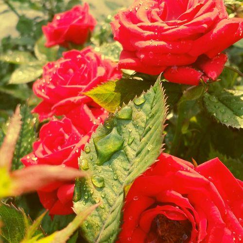 Rain Day Roses Regnerisch Tag yagmur yagar guller gozyaslarini biriktirir gun âcar bahar gelir .