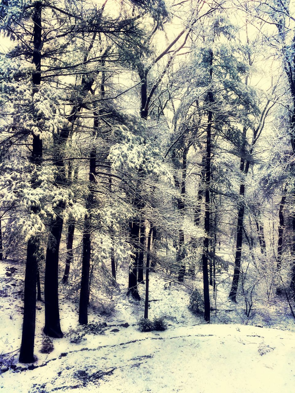 tree, nature, forest, tranquility, tree trunk, no people, tranquil scene, day, cold temperature, snow, beauty in nature, landscape, scenics, winter, outdoors, bare tree