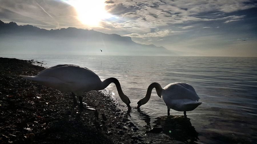 Swans by