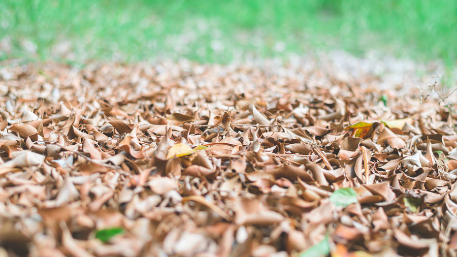 Closeup pile of dry leaves on green grass in the garden. Low angle view for wallpaper. Dry Leaves Leaf Background Ground Autumn Texture Dark Brown Natural Plant Fall Orange Nature Season  Isolated Dried Dead Pattern Yellow Forest Tree White Beautiful Color Garden Colorful Abstract Wallpaper Concept Copy Space Sunlight Green Lawn Grass Bright Outdoor Park Low Angle View Day Selective Focus Land Field Falling Beauty In Nature