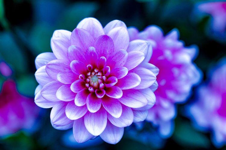 Close-up of purple dahlia flower