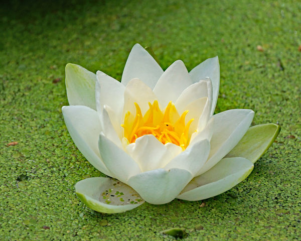 Seerosen Beauty In Nature Close-up Day Floating On Water Flower Flower Head Flowering Plant Fragility Freshness Green Color Growth Inflorescence Lotus Water Lily Nature No People Outdoors Petal Plant Pollen Vulnerability  Water Water Lily White Color