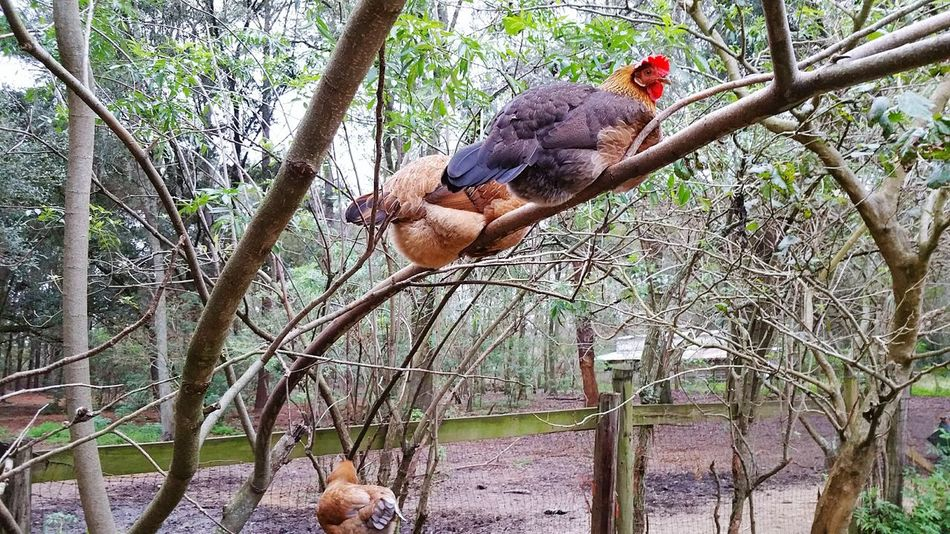 Chicken. Chickens Are Pets Roost Tree Limb Perching