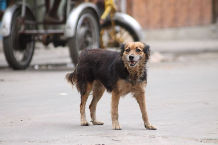 Stray dog standing on road