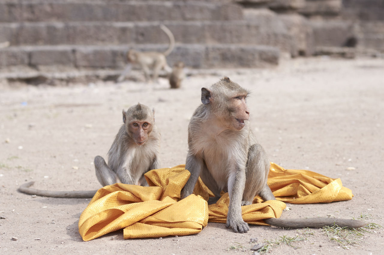 Monkey And Infant Playing With Fabric