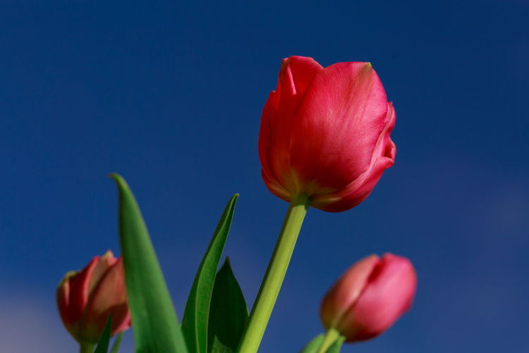Close-up Of Red Tulips In The Blue Sky In Holland Classic Copy Space Dutch Tulips Low Angle View Natural Nature Spring Has Arrived Beauty In Nature Blooming Blossoming Tulips Blue Background Close Up Flower Close-up Holland Horizontal Shot Natural Luxury No People Red Red Blue Green Red Tulips Red Tulips In The Blue Sky Spring Flowers Tulipa Tulips In The Field Tulips In The Sun