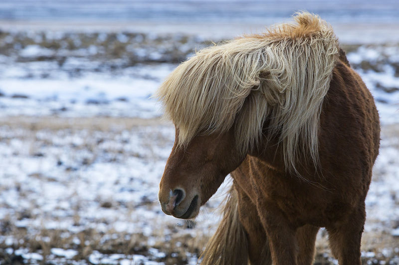 Animal Themes Close-up Cold Temperature Day Domestic Animals Field Horse Horses Iceland Iceland Memories Iceland Trip Iceland_collection Icelandic Horse Livestock Mammal Mane Nature No People One Animal Pony Snow Travel Travel Destinations Travel Photography Winter