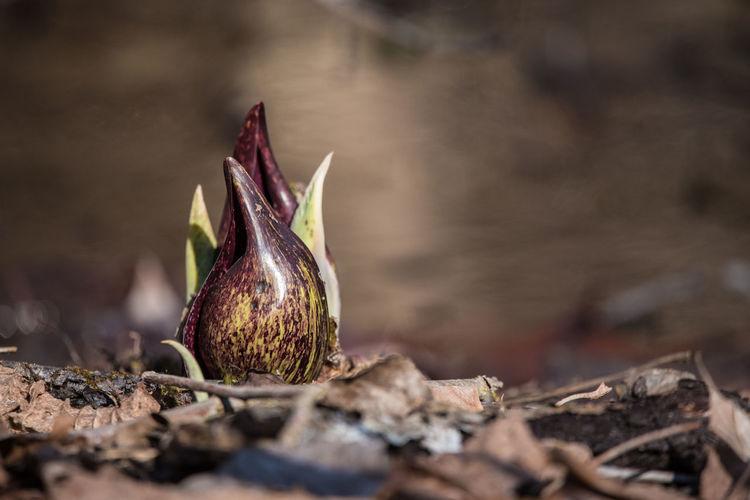 Sunlit skunk cabbage in springtime
