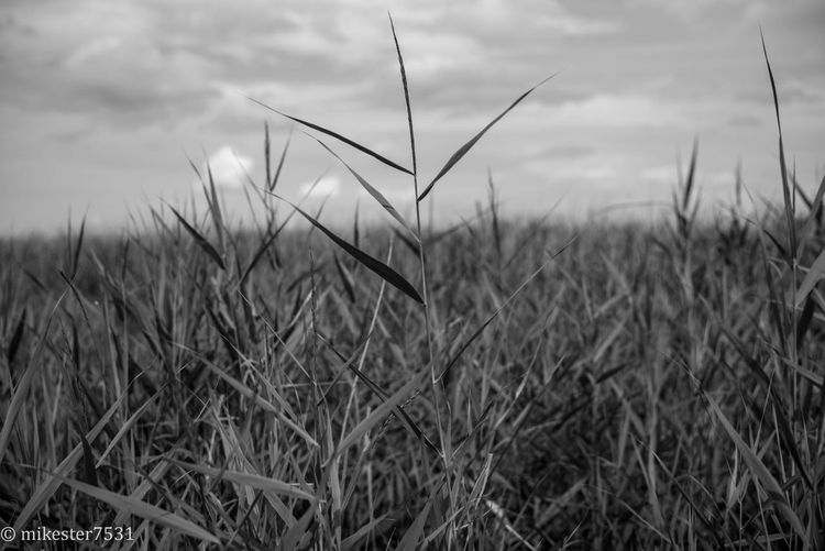 Leica Monochrome Sylt Keitum Grass Nature Focus On Foreground Plant Grass Area Outdoors Black & White MonochromePhotography