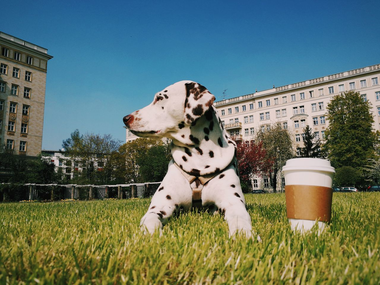 Dalmatian Sitting On Field Against Clear Sky
