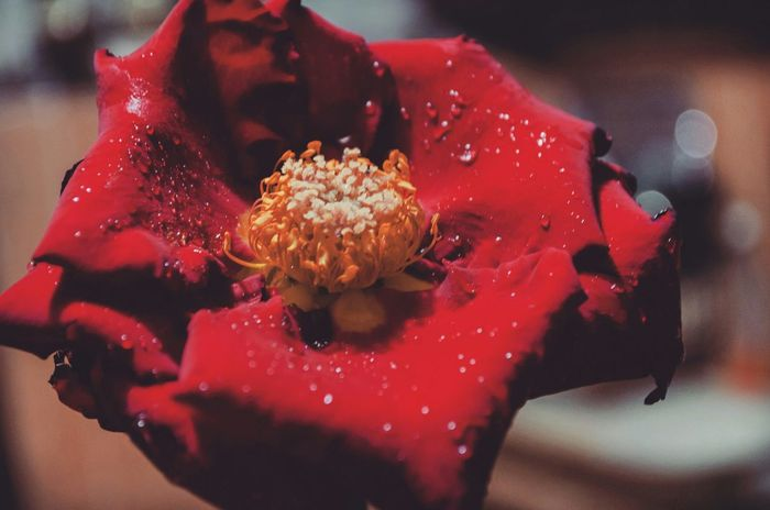 Flowers Plants And Flowers Waterdrops Red Rose Red Flower Nikonphotography Nikon D5100  Beutiful  Check This Out