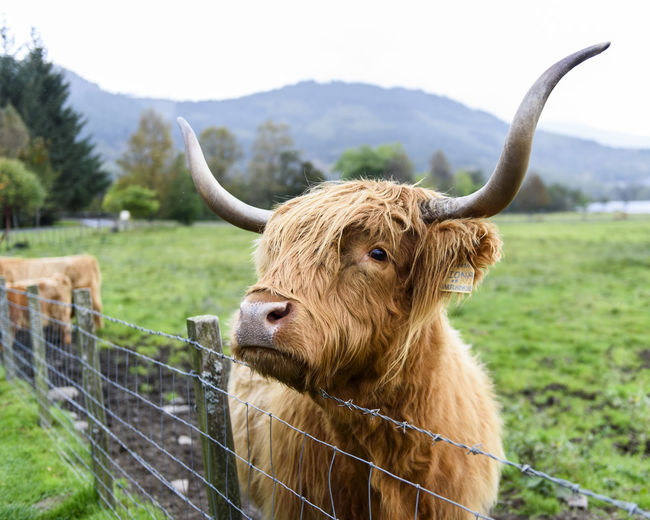 Thoughtful Close Up of a Hairy Coo in the Highlands of Scotland Horns Scotland Animal Animal Themes Close-up Coo Cow Day Field Focus On Foreground Grass Highland Cattle Highlands Of Scotland Mammal Nature No People One Animal Outdoors Sky