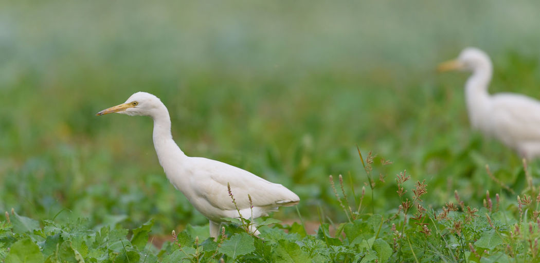 cattle egret Egrets EyeEmNewHere Paddy Paddy Fields Beauty In Nature Birdphotography Cattleegret Egret Paddy Field Paddyfield