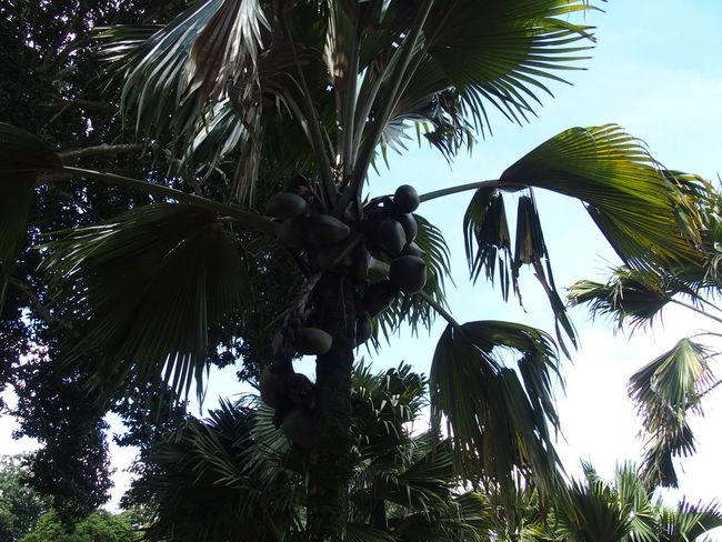 royal botanic garden of Sri Lanka Beauty In Nature Ceylan Ceylon Coco De Mer Coco Fesse Coconut Lodoicea Maldivica Nature Park - Man Made Space Peradeniya Royal Botanic Garden Sea Coconut Sri Lanka