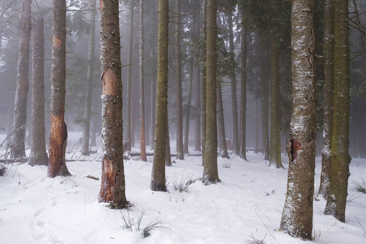 Tree Land Cold Temperature Snow Winter Forest Beauty In Nature Trunk Tree Trunk Tranquility WoodLand Snowing Scenics - Nature Nature Growth
