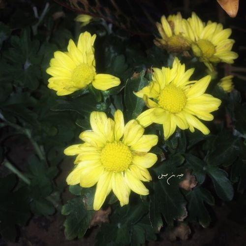 Yellow 🌼 Canon