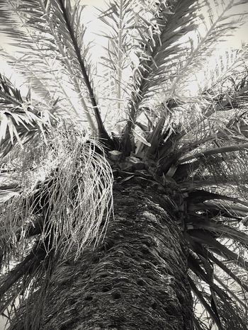 Palm Tree Nature No People Tree Agriculture Backgrounds Full Frame Growth Outdoors Beauty In Nature Close-up Day Blackandwhite Monochrome Photography Scenics Palm Tree Before Hurricane Harvey Rockport Texas