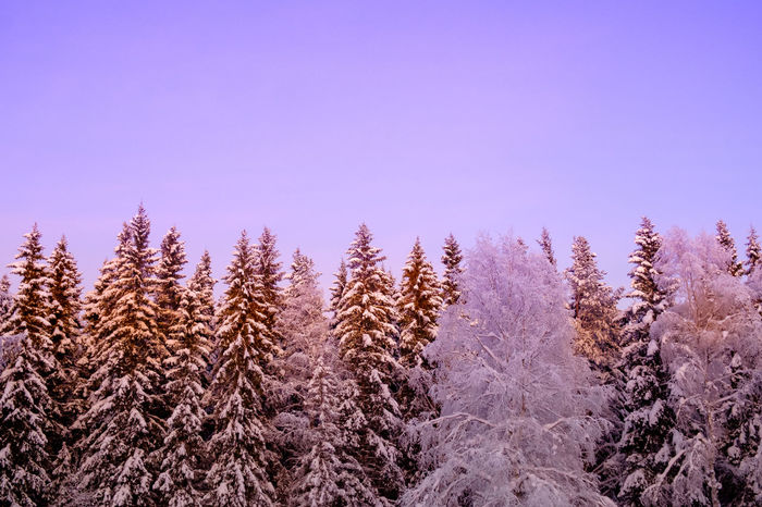 will their be crisp? Nature Tree No People Winter Pine Tree Outdoors Cold Temperature Day Growth Pinaceae Beauty In Nature Forest Snow Sky