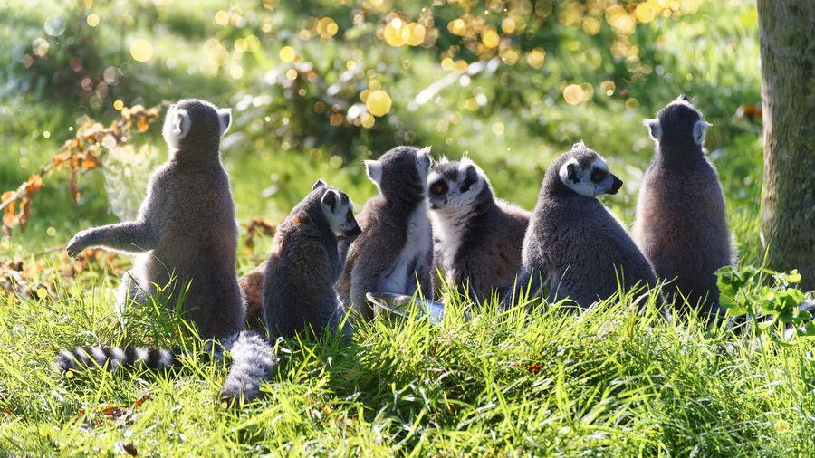 Flock of sheep sitting on field