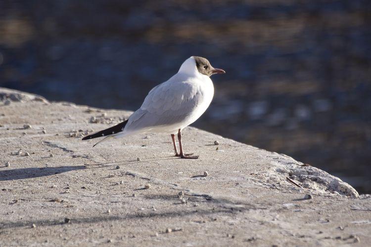 Black-Headed Gull Perching Wall