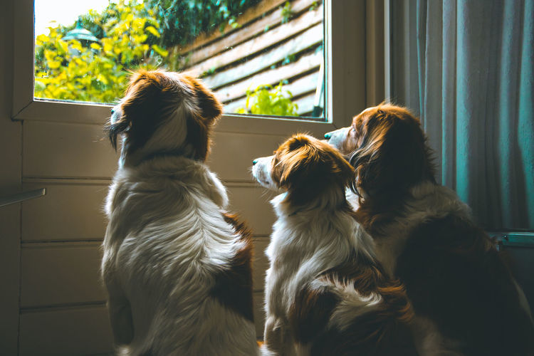 3 Dogs awaiting the arrival of their owner Dogs Waiting Animal Themes Close-up Day Dog Domestic Animals Home Interior Indoors  Kooikerhondje  Loyalty Mammal No People Pets Togetherness Window