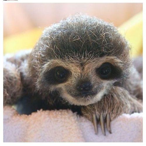 baby sloth(sloth sounds cool):) haha
