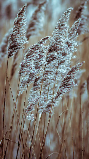 Reeds blowing
