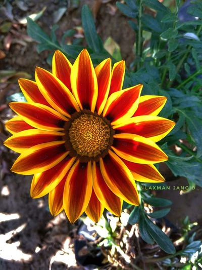 sunflowers Techniques photography by Laxman Jangid Mokhampura Laxman Jangid Mokhampura Jaipur Rajasthan 9784444757 Dj Rs Jat Petal Pollen Close-up Blooming Plant Gazania Black-eyed Susan Botany Apple Blossom Pistil Dahlia Day Lily Rhododendron Hibiscus Zinnia  Passion Flower In Bloom Stamen Plant Life Coneflower Osteospermum Eastern Purple Coneflower Blossom