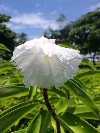 Flor Blanca Adolfo