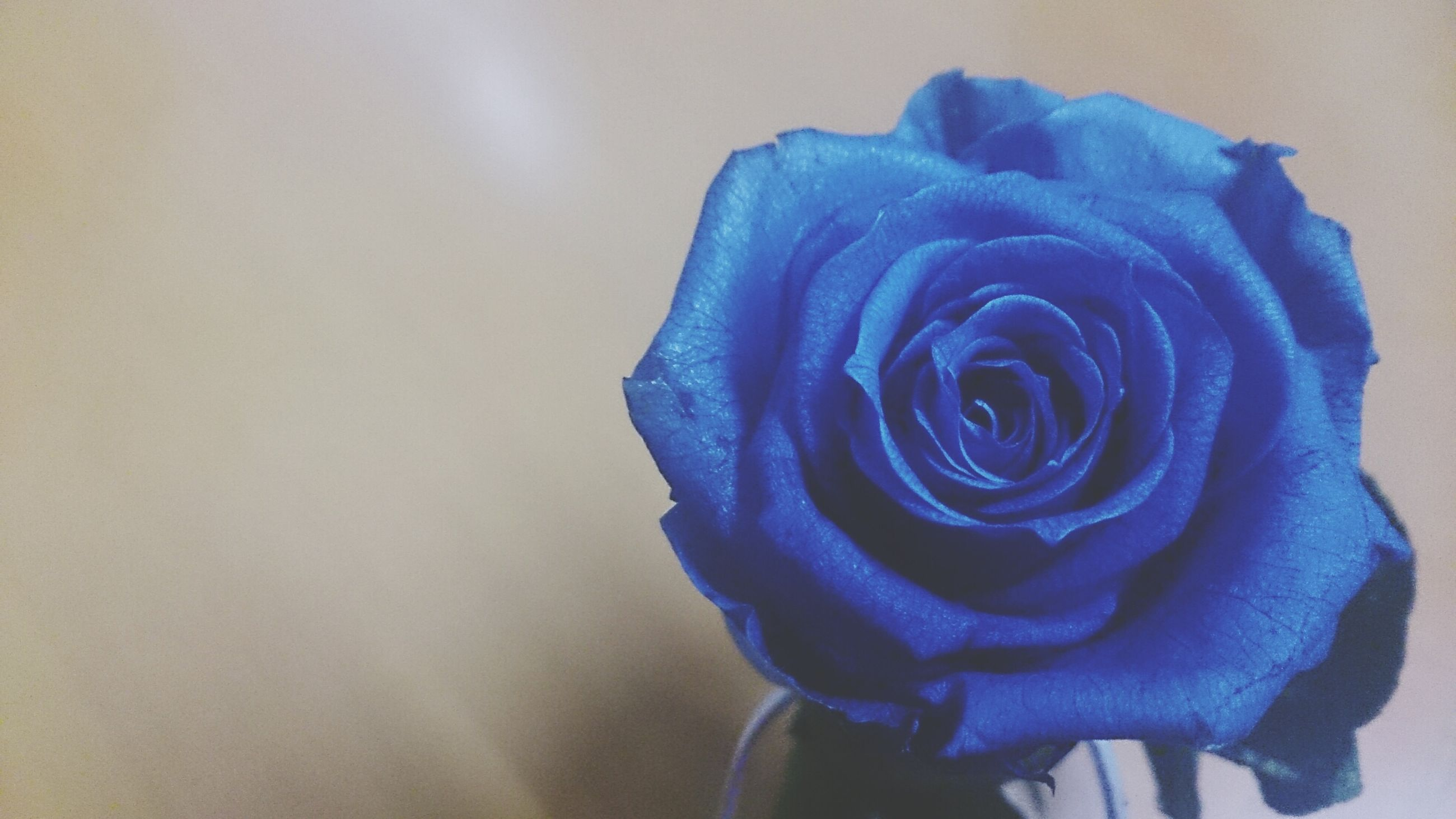 flower, petal, flower head, fragility, rose - flower, close-up, freshness, beauty in nature, purple, single flower, studio shot, indoors, rose, nature, no people, softness, blue, focus on foreground, blooming, copy space