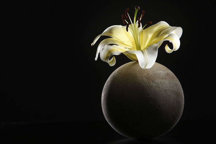 yellow lily on the round vase with black background Flower Flowering Plant Freshness Plant Close-up Lily Lily Flower Floral Petal Nature Summer Blossom White Spring Decoration Color Flora Blooming Bright Bouquet Leaf Green Bud Single Object Pretty Elégance Vulnerability  Fragility Indoors  Black Background Studio Shot Copy Space Beauty In Nature Inflorescence Flower Head No People Cut Out Still Life Round Stone