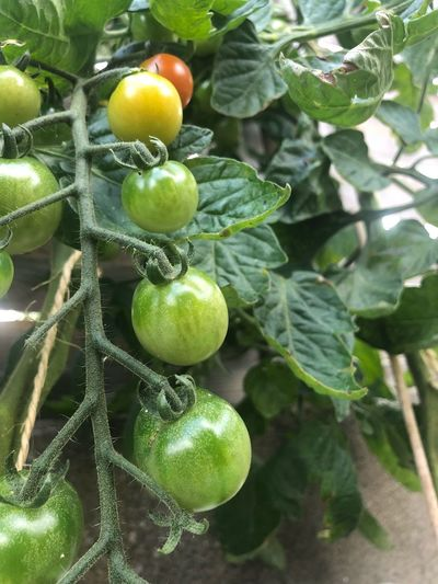 tomatoes Tomatoes Healthy Eating Food And Drink Green Color Plant Part Growth Food No People Close-up Outdoors Vegetable
