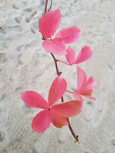 Pink Color Nature No People Beauty In Nature Close-up Branch Leaf Fragility Outdoors Day Beach Virginia Creeper Vigne Vierge