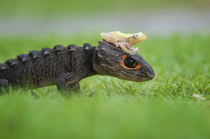 Close-up of skink and frog on grass