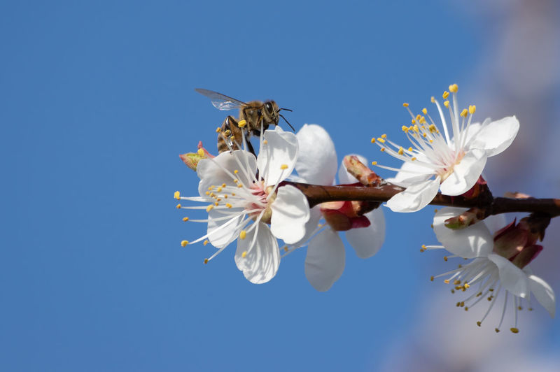 Low angle view of bee on white flower
