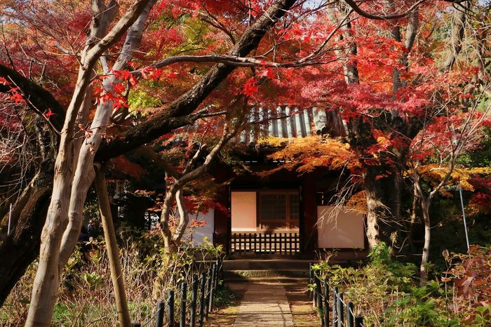 Maple Tree Autumn Tree Red Color Green Maple Leaf Landscape Japan Autumn Leaves Japanese Temple Leaves And Colors Temple Gate Nature Beauty In Nature