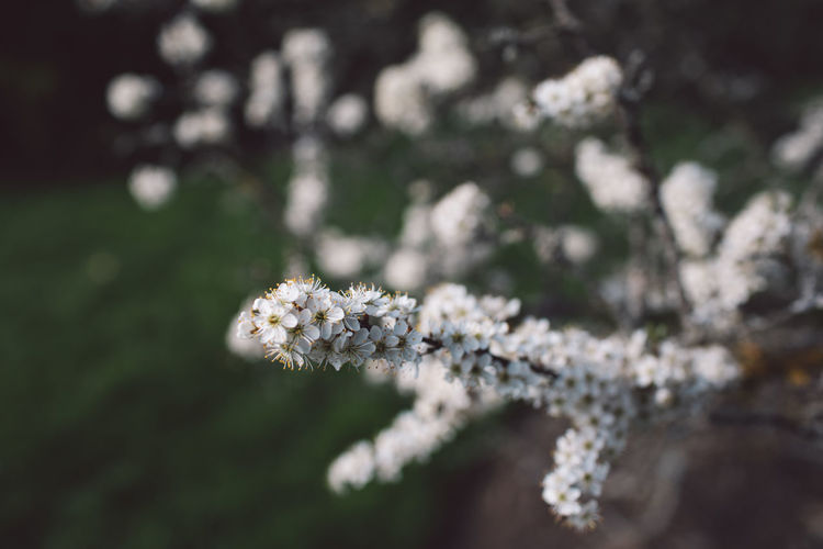 Springtime Decadence Plant Flower Flowering Plant Fragility Beauty In Nature Close-up Growth Vulnerability  Freshness Nature Selective Focus Day White Color No People Focus On Foreground Outdoors Tree Tranquility Land Flower Head