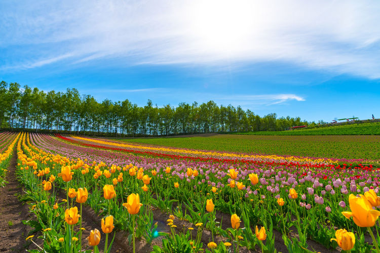 Mountain, Trees and Tulip flowers field with clear blue sky backgound in sunny day, a close up shot of colorful flower carpet. Shikisai No Oka Shikisainooka Hokkaido Biei Flower Tulip Tulips Beautiful Blooming Blossom Colorful Field Freshness Garden Hill Mountain Nature Season  Rural Scene Countryside Tree Blue Sky Skyline Natural Scenery Scenics Summer Landscape Sunny Sunlight Vivid Environment Color Multicolored Fragrant Spring Charming Vacations Rainbow Land LINE Clear Sky Day Meadow Red Yellow Pink Color Grass Beauty In Nature