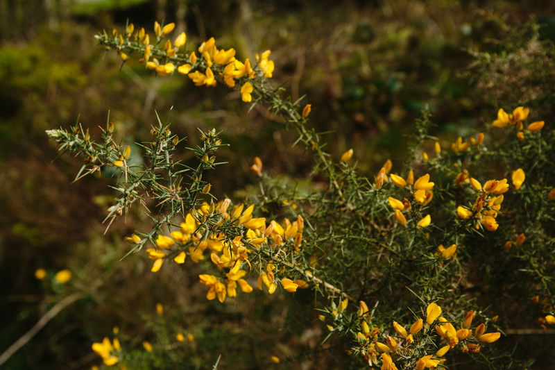 Beauty In Nature Blooming Close-up Common Gorse Flower Flower Head Freshness Growth Nature No People Outdoors Plant Yellow