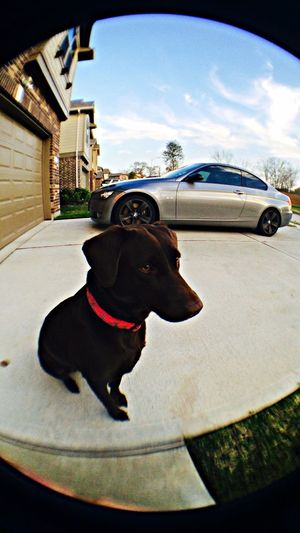 My pup and my Bmw 335i Labrador