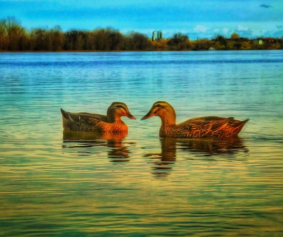 Ducks in love Lake Water Waterfront Reflection Nature No People Outdoors Animals In The Wild Animal Themes Beauty In Nature Tranquility Day
